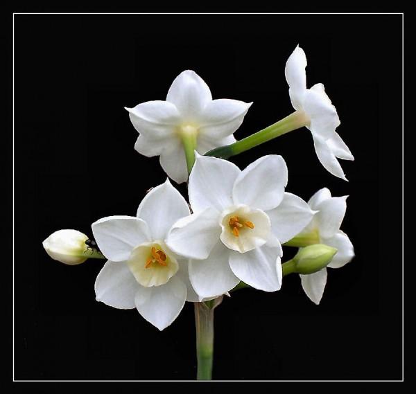 http://pesarane-entezar.persiangig.com/image/6174Paperwhite_Narcissus-med.jpg